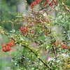 Can You See the House Finch Eating Pyracantha Berries