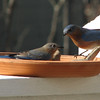 Female and Male Bluebirds
