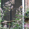 Can You Count 6 Eastern Tiger Swallowtail Butterflies on Joe Pye Weed