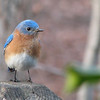 2006 Bluebird Cove Critters : Wildlife in our own backyard in Central Virginia. Our one acre Certified Backyard Wildlife Habitat.
