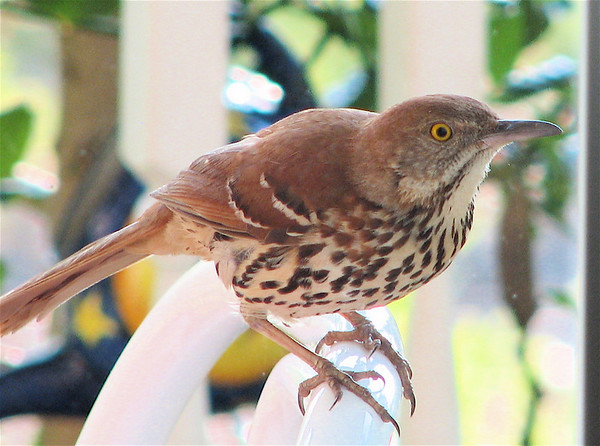 2007 Brown Thrasher Romance