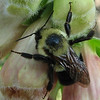 Close-up of Snoozing Bee on Foxglove Flower - Early Morning