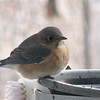 2008 Bluebird Cove Critters : Wildlife in our own backyard in Central Virginia. Our one acre Certified Backyard Wildlife Habitat.
