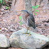 Green Heron Visits Our 5x10 Backyard Pond 6-28-09