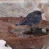 Eastern Bluebird in Heated Birdbath During Snowstorm - Maybe He Thought It Was An Outdoor Hottub