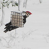 Pileated Woodpecker on Suet in Snowstorm