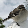 Precious Mockingbird Sings Even in the Snow