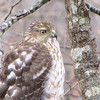 Juvenile Cooper's Hawk in Front of Deck