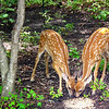 Fawns Eating Birdseed
