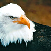 Magnificent Eagle - Alaska Raptor Rehab Center - Sitka, Alaska Alaska Inside Passage Cruise - Seward, Alaska to Vancouver, Canada - Holland America Cruise Lines  - May 17-24, 1998