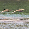 Two Canada Geese in Flight Over Chattahoochee River - Roswell, GA