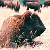 Resting Bison - Land Between The Lakes National Recreation Area - Golden Pond, KY  11-29-98