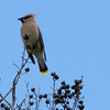 Cedar Waxwing - Furman University - Greenville, SC
