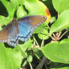 Red-spotted Purple Admiral Butterfly at Fruit Hill Orchard - Palmyra, VA