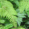 Ferns - Skyline Drive - Shenandoah National Park, Virginia
