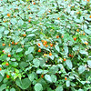 Jewelweed on Skyline Drive - Shenandoah National Park, Virginia<br /> This is a plant you can use to stop poison ivy when you get into a patch of it in the woods.  It contains chemicals that will neutralize the skin-irritating effects of poison oak, poison ivy, stinging nettle, insect bites and ringworm. Can be used as poultices for bruises, cuts, burns, sores, sprains and warts.