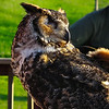 Quinn, Great Horned Owl - The Wildlife Center Benefit at Carter Mountain Orchard, Charlottesville, VA  6-9-12 Quinn was found stuck in a fence and was admitted with injuries to both wings and his right eye.  Center veterinarians determined that his eye would need to be removed, and Quinn's flight feathers never grew in properly.
