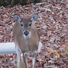 Deer Drinking at Pond 11-15-09
