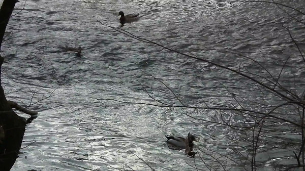 Video From Bridge of Ducks Riding the Waves - Ridgeview Park - Waynesboro, VA  12/9/12