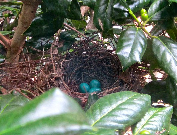Gray Catbird Nest at Kitchen Window - July 2014